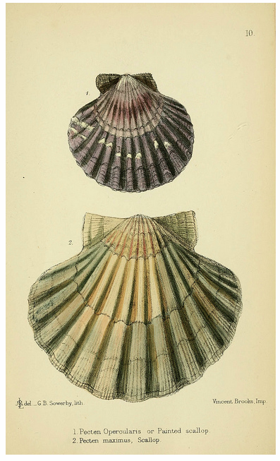 The edible Mollusca , The Biodiversity Heritage Library (BHL)