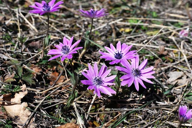 fiori di San Giuseppe