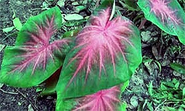 Tinhorão (Arum maculatum, Caladium bicolor).