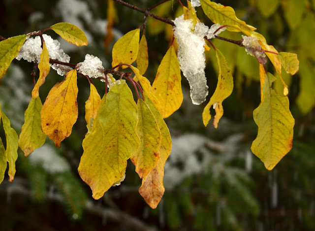 yellow leaves on glossy buckthorn in snow