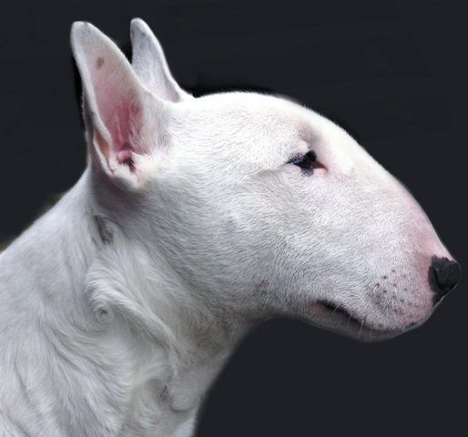 0 Pitbull Dog Profile