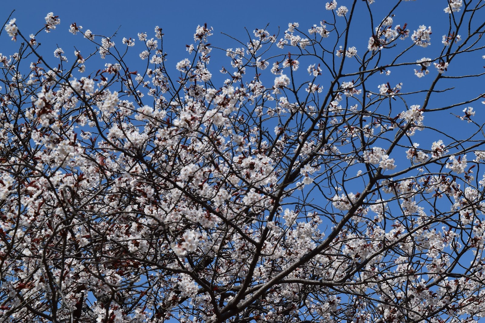 Himeji Sakura