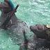 Οι Ρώσοι εκπαιδεύουν… φώκιες για να συμμετάσχουν σε στρατιωτικά προγράμματα (Photos - vid)