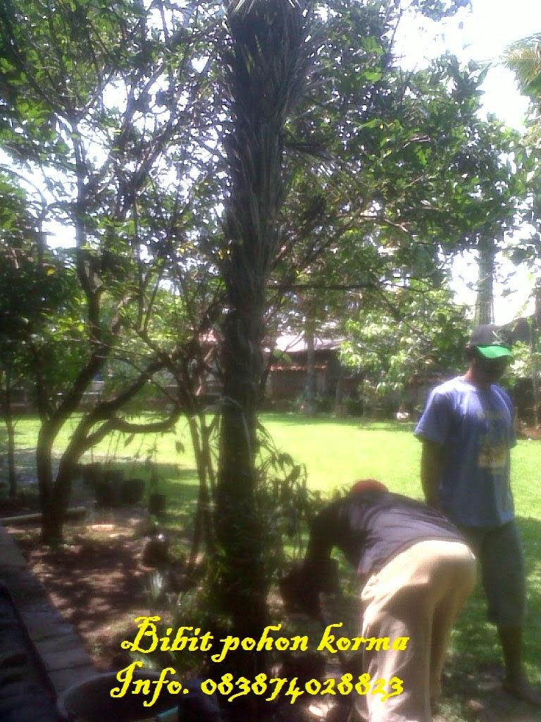 Pohon-korma-kurma