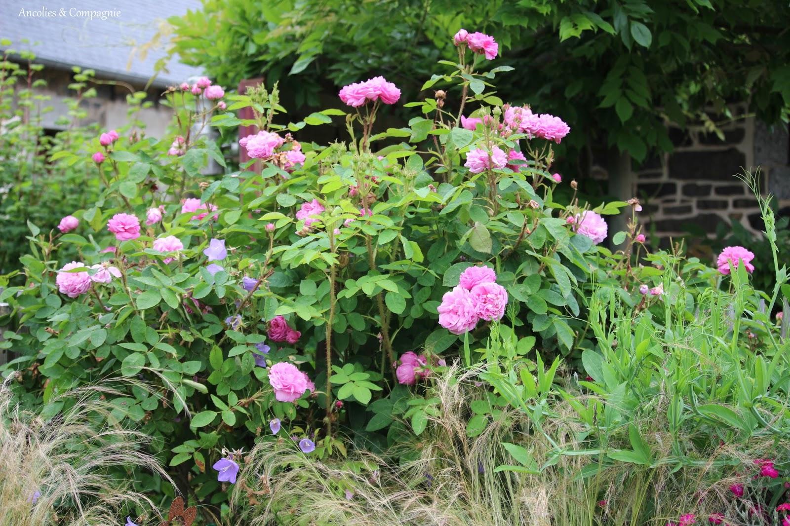 Ancolies compagnie rosier salet un parfun de for Quel arbre pour mon jardin