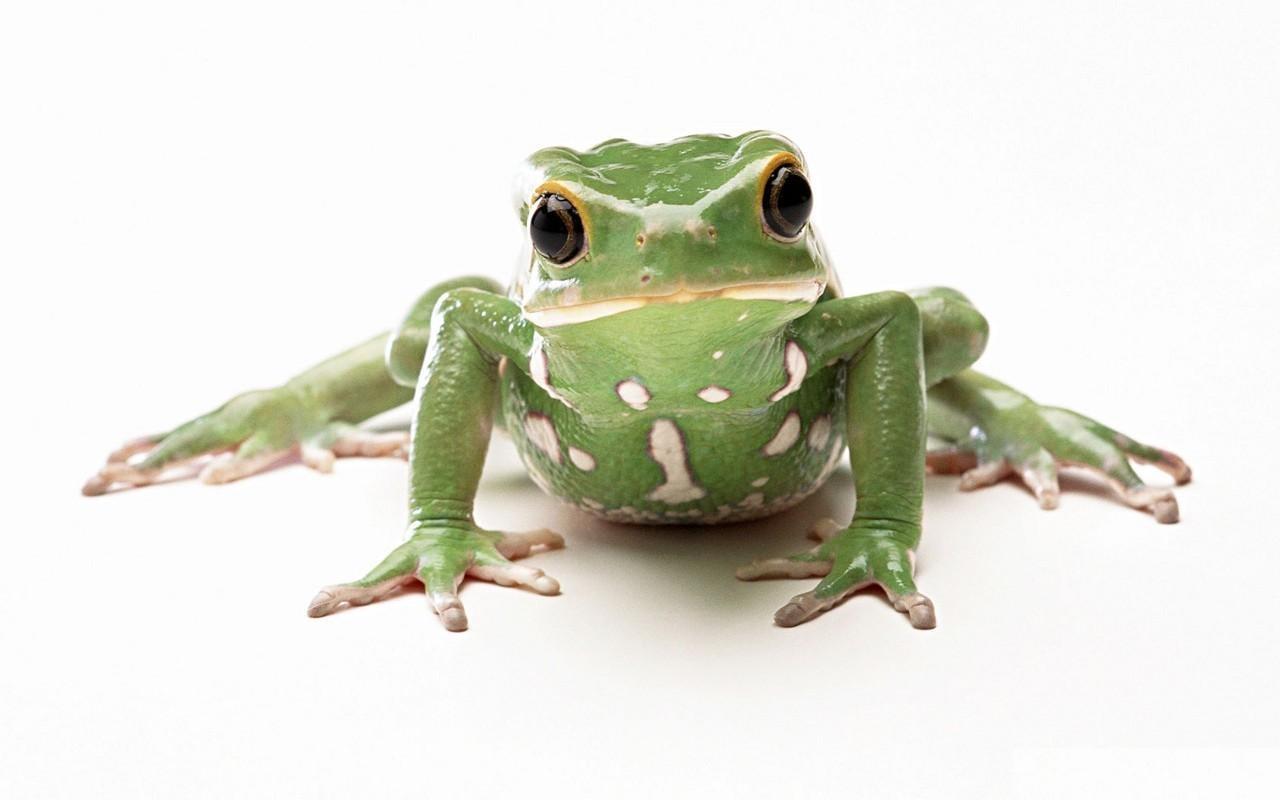 V Frog Kpm Frog Wallpapers...