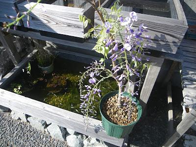 藤 鉢植え