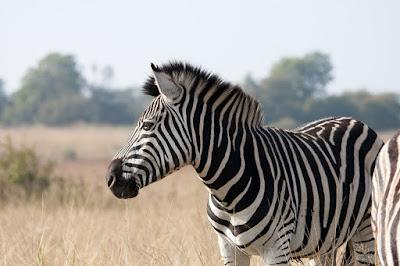 zebra journey