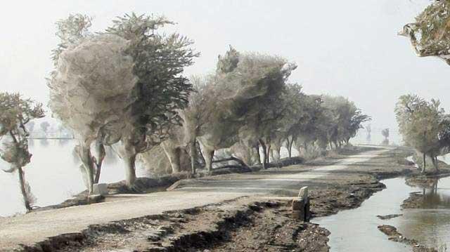 ¿Maravillas Temporales? Arañas toman árboles en Pakistan. 1