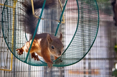 Squirrel Running on an Exercise Wheel