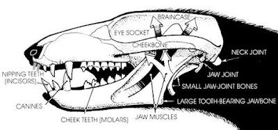 Pachygenelus