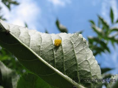bladluizen bestrijden, bladluizen biologisch bestrijden, bladluizen ecologisch bestrijden, lieveheersbeestje, eitjes