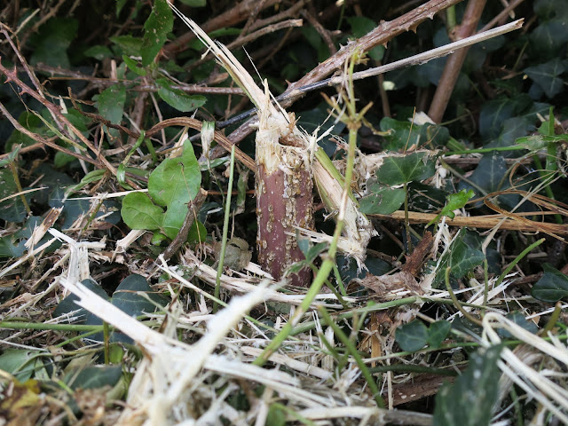 Broken brambles and alexanders with fallen and still growing ivy after council mowing.
