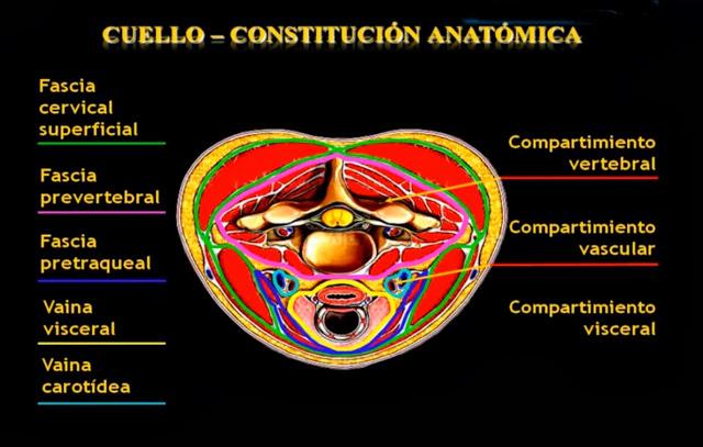 Anatomía radiológica \