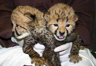 Exotic cubs for sale