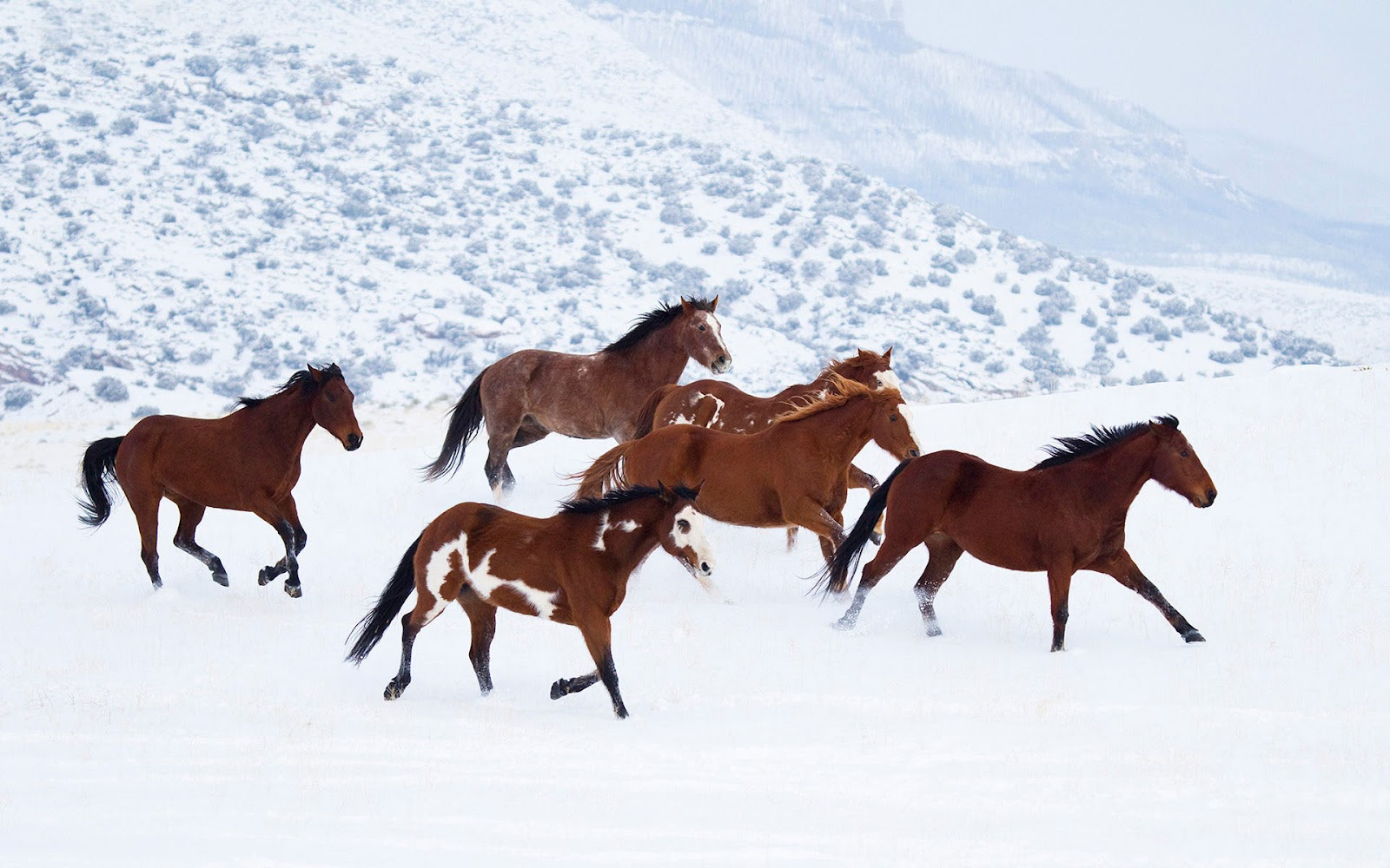Brown Horses Running Through The Snow Hd Animals Wallpapers