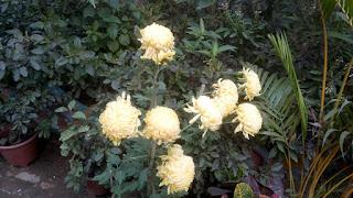 Yellow Common Peony Flowers