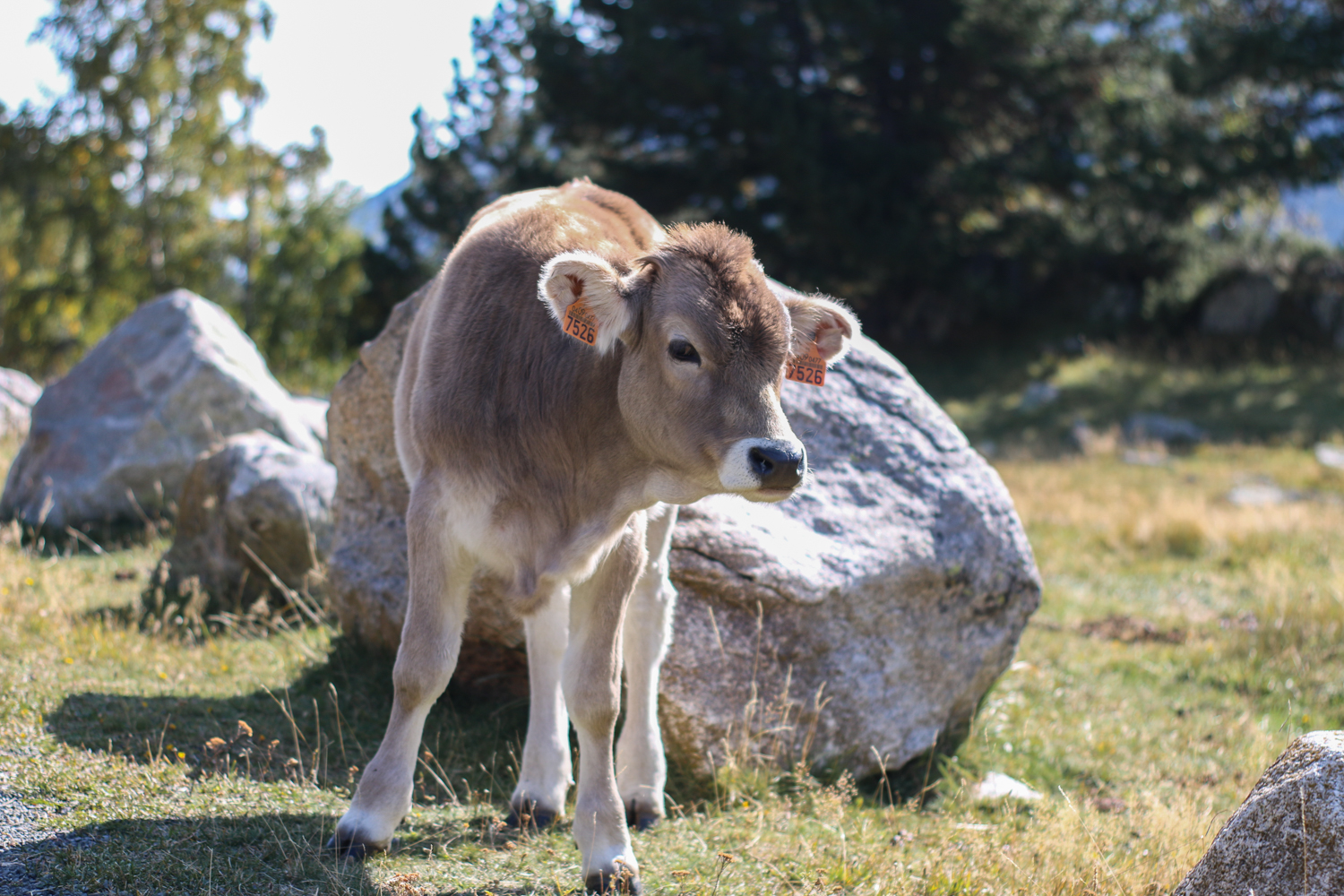 Calf in the mountains