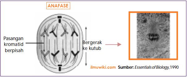 Gambar Tahap Anafase pada pembelahan mitosis