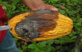 cara atasi hsms penyakit buah kakao