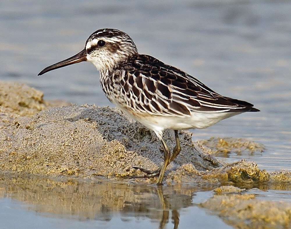 Playerito blanco: Limicola Calidris falcinellus