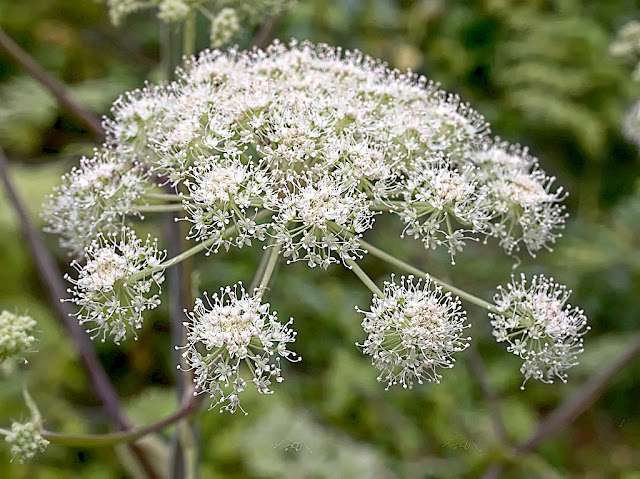 Close up of head of hogweed