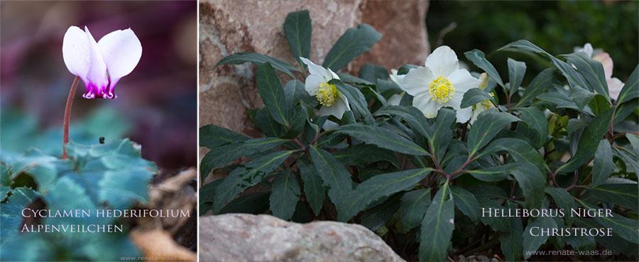 Christrosen, Alpenveilchen und ein paar übrig gebliebene Verbenen blühen im November