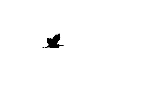 Grey Heron flight silhouette