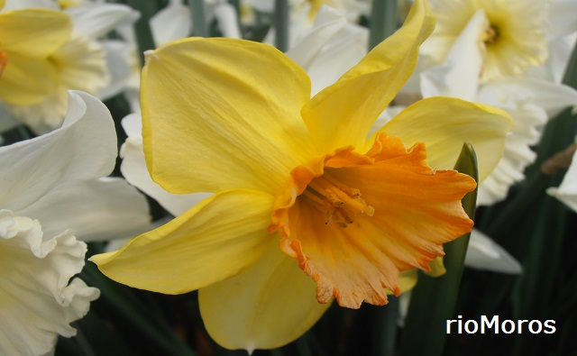 """Flor de NARCISO Las Vegas Narcissus sp. """"Las Vegas"""""""