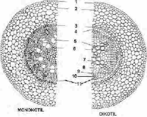 Struktur Dan Fungsi Jaringan Akar Tumbuhan Your Chemistry A