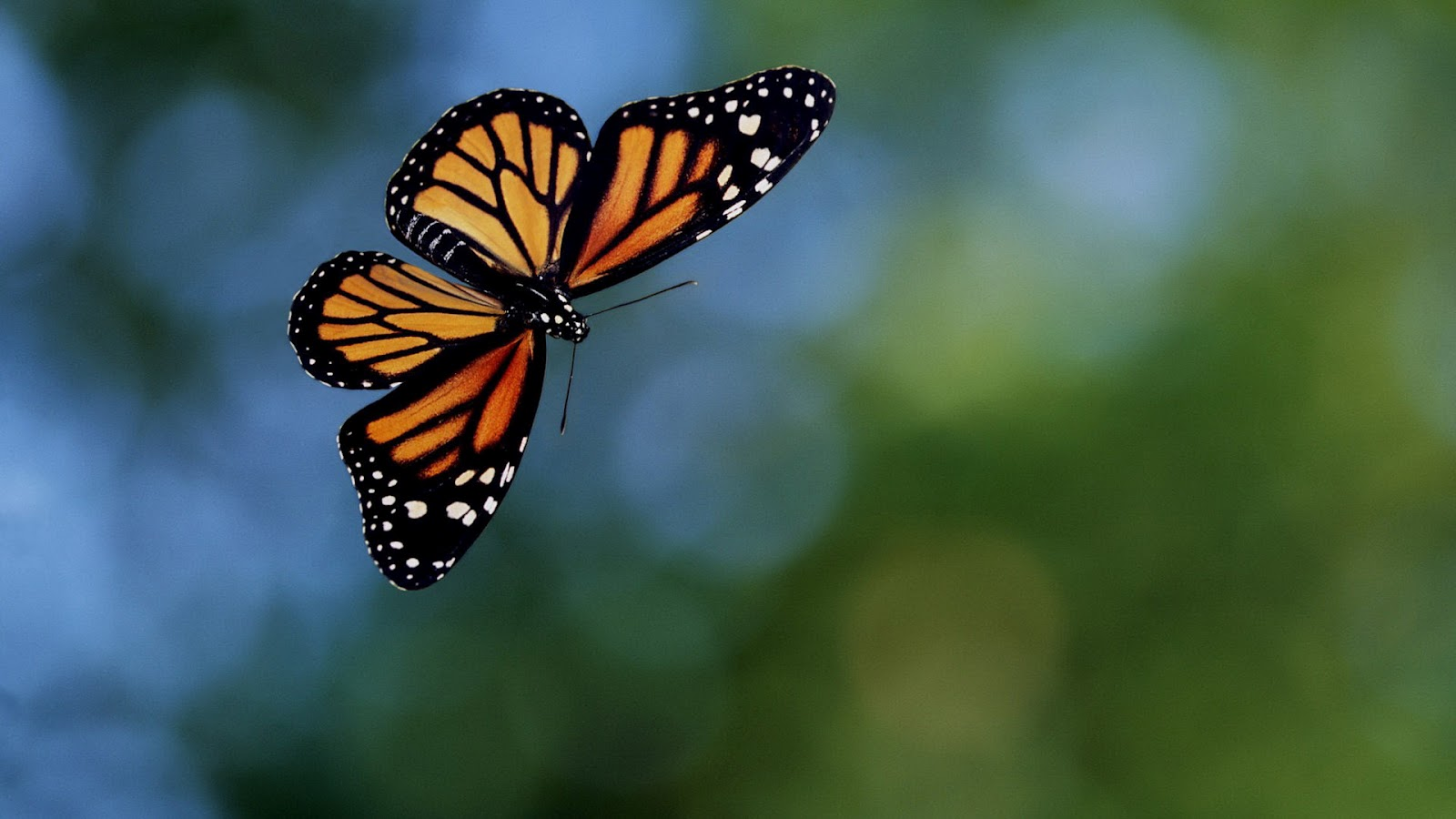 Flying Orange Black Butterfly Wallpaper Hd Animals Wallpapers