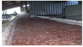 Perendaman biji kakao setelah fermentasi