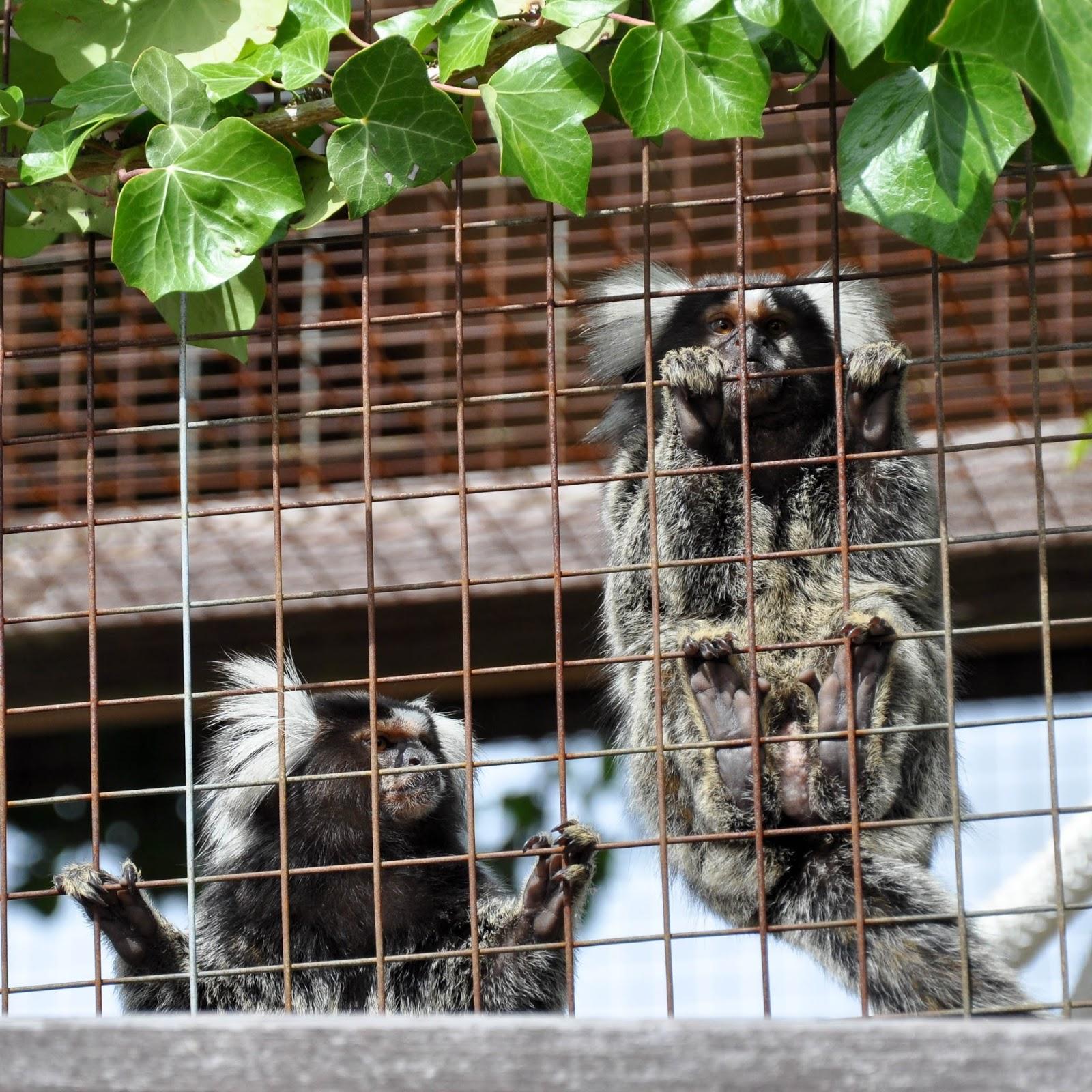 Marmosettes,  Monkey Haven, Isle of Wight, UK