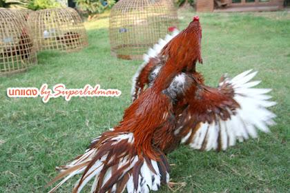 MITOS Ayam Bangkok Bercentil Dua