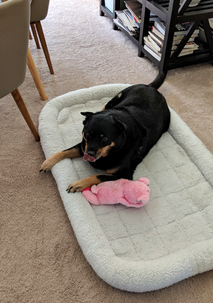 image of Zelda the Black and Tan Mutt lying on a dog bed on the dining room floor with a pink plushy toy, licking her nose