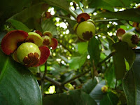 Benefits Leaves Mangosteen For Health