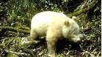 Rare all-white panda spotted in China reserve: State media