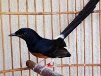Cara Merawat Burung Murai yang Sakit