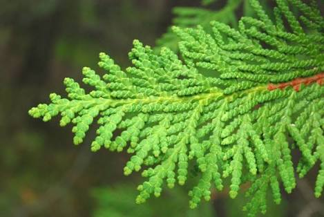 The Way Of Homoeopathy: Thuja: The King of Anti-sycotic Remedies