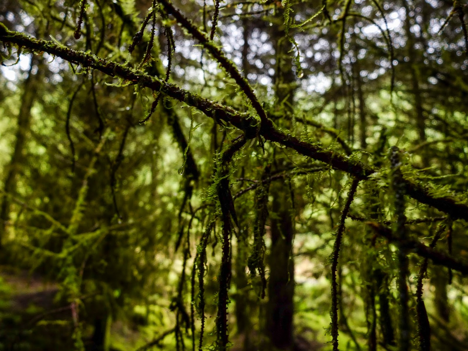 Moss hanging off tree branches inside a forest.