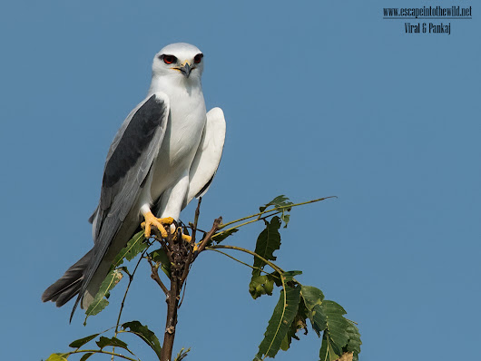 Black-winged Kite | Escape into the wild