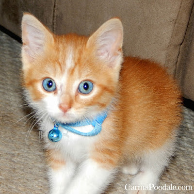 Orange and White kitten with blue eyes