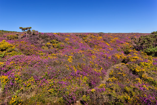 Vibrant flowers of heather and Gorse in Exmoor National Park by Martyn Ferry Photography