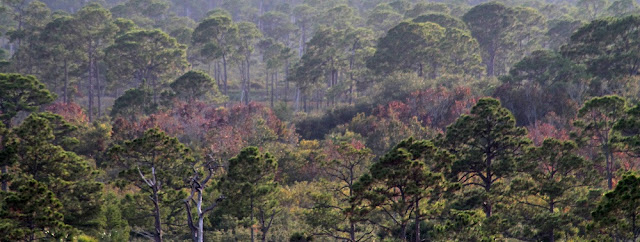 Vista de los pinares desde la Hobe Mountain