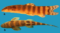 http://sciencythoughts.blogspot.co.uk/2014/08/a-new-species-of-river-loach-from.html