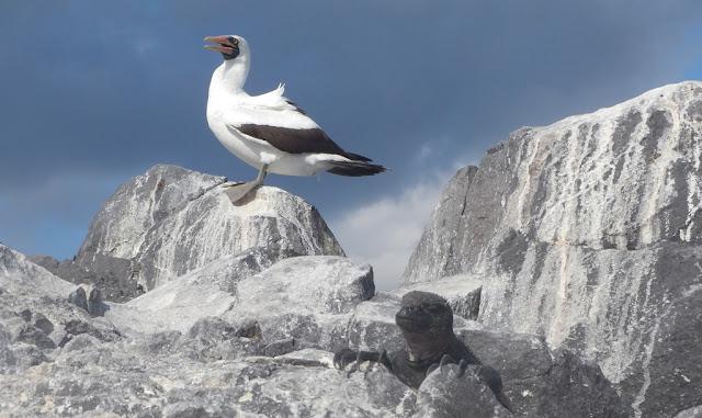 Bird spotting Punta Suarez Nasca Booby
