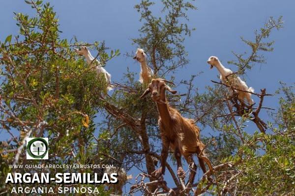 Las Semillas de Argan, Argania spinosa, ha servido como alimento para Cabras y Camellos