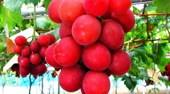 Anggur Ruby Roman Jepang