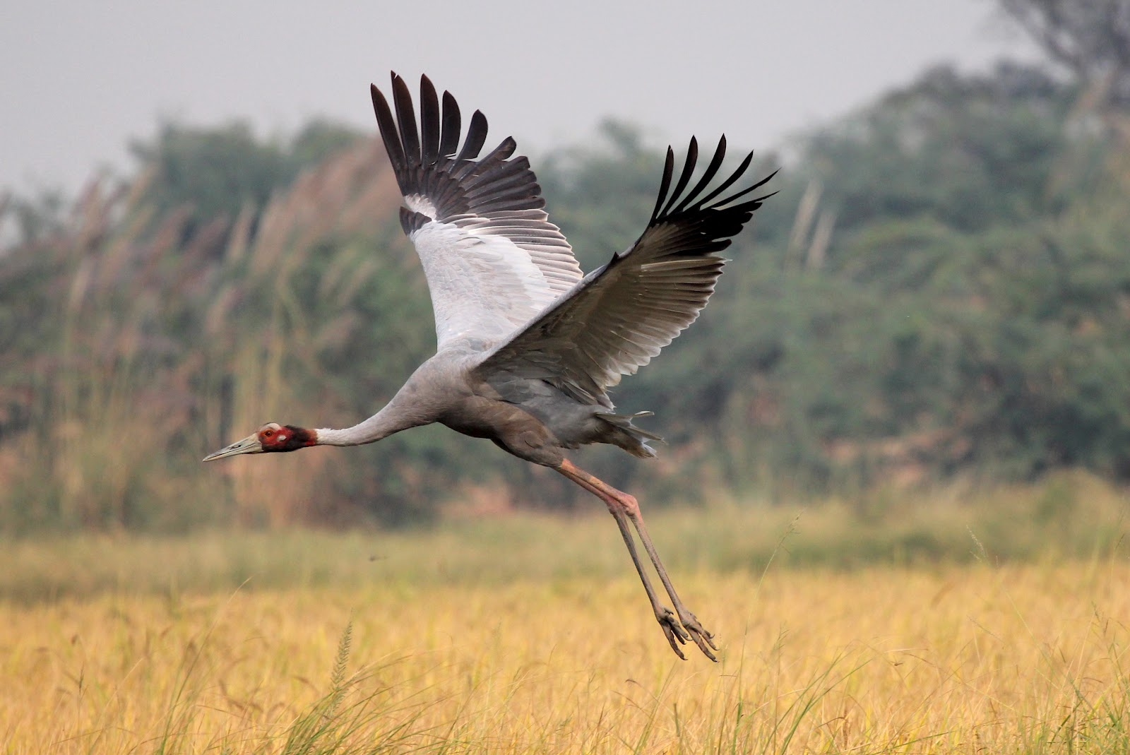 Indian Crane Bird Flying