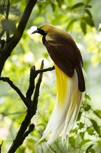 Gambar Flora Fauna Indonesia Burung Cendrawasih Papua Macam Jenis Flora Nusantara